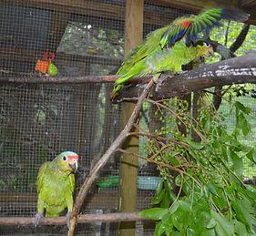Baby red loreds in a quarantine enclosure