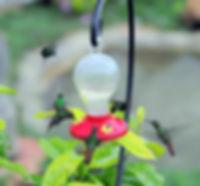 Hummingbirds, Feeder, Belize Bird Rescue