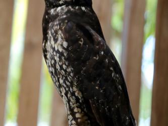 Stygian Owl Release