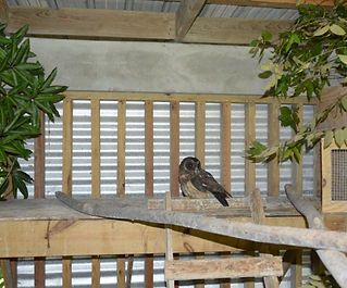 Injured mottled owl in rehab enclosure