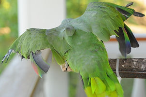 typical wing-clip in Belize