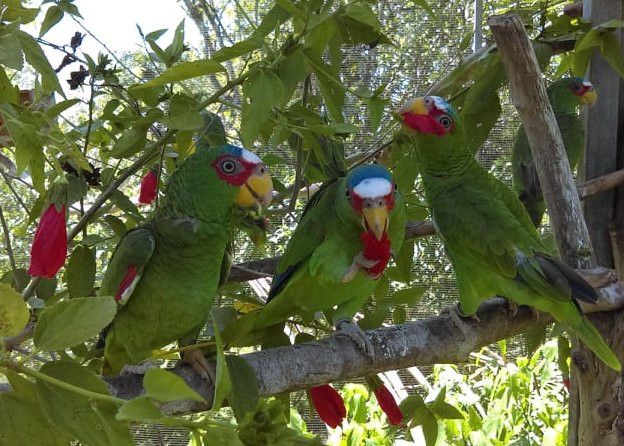 white fronted parrots at Belize Bird Rescue