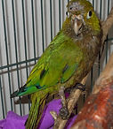 Injured olive-fronted parakeet (Aratinga nan)