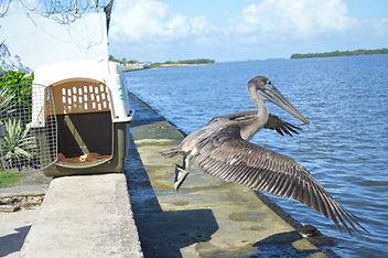 brown pelican released
