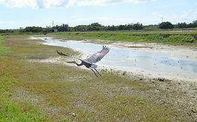 Great blue heron released