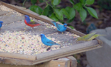 Blue Bunting, Painted Bunting, Belize