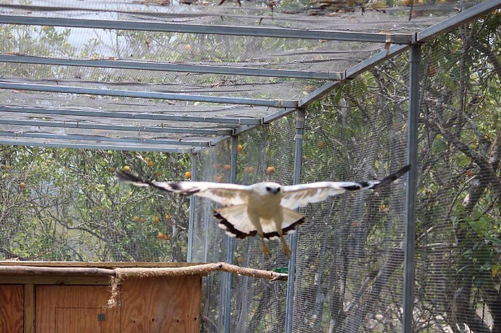 White hawk recovering from broken wing