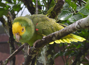Yellow Head Amazon (Amazona oratrix belizensis)
