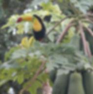 Keel Billed Toucan, papaya, Belize Bird Rescue