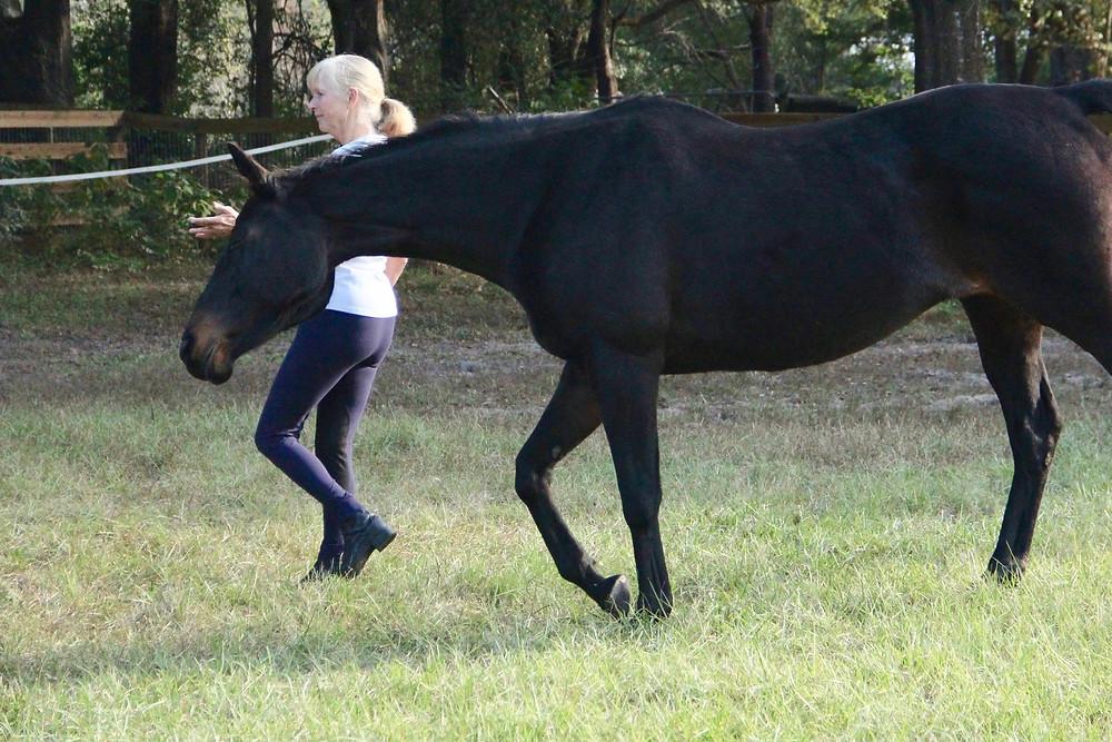 leading or walking horse at liberty
