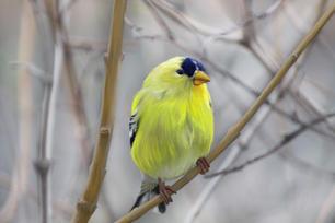 'Yellow Finch' (2020)