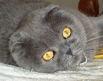 Allevamento Dolcemya Scottish Fold British Shorthair