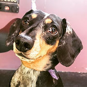 Bella the pretty Dachshund #dachshund #g