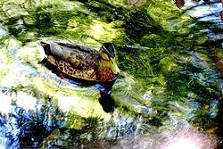 Page Animaux Ferme 2 Canard dans la mare