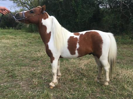 Connaissez vous le cheval miniature Américains AMHA
