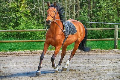 Materiel pour le travail à pied du cheval en equitation: longe, surfaix, pad ou enrenement.