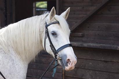 Vente de Bride, bridon, enrenement et accessoire pour le cheval et poney en équitation.