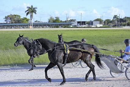 Harnais pour trotteur cheval achat et ve