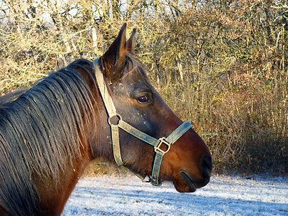 Licol et longe fourrure pour cheval et poney shetland, longe et licol ethologique pour l'équitation.