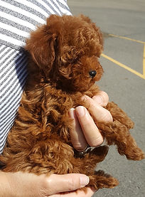 612Toy goldendoodle .jpg