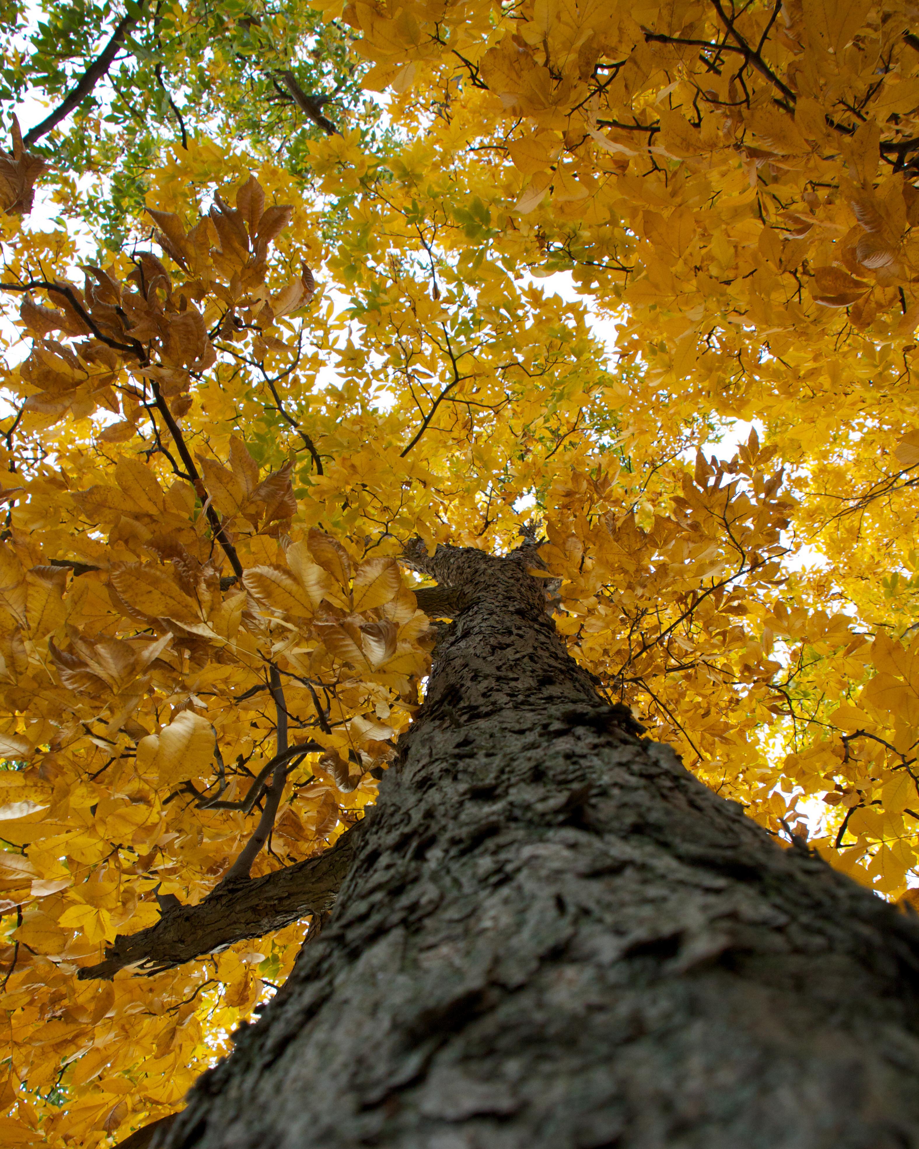 Fall Tree 1