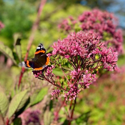 Schmetterling auf Wasserdost