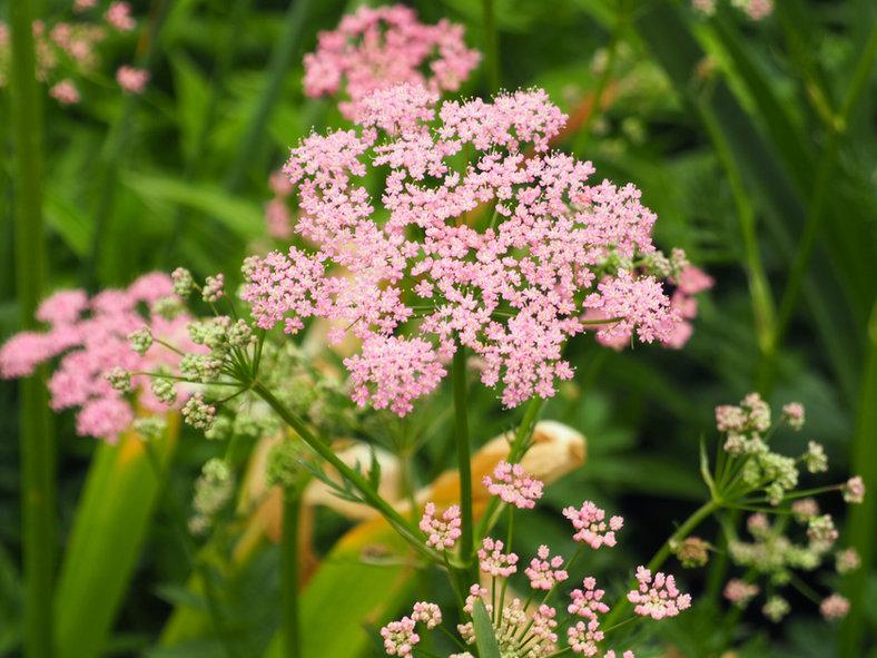 Doldenblüte in der Pflanzplanung und Gartengestaltung