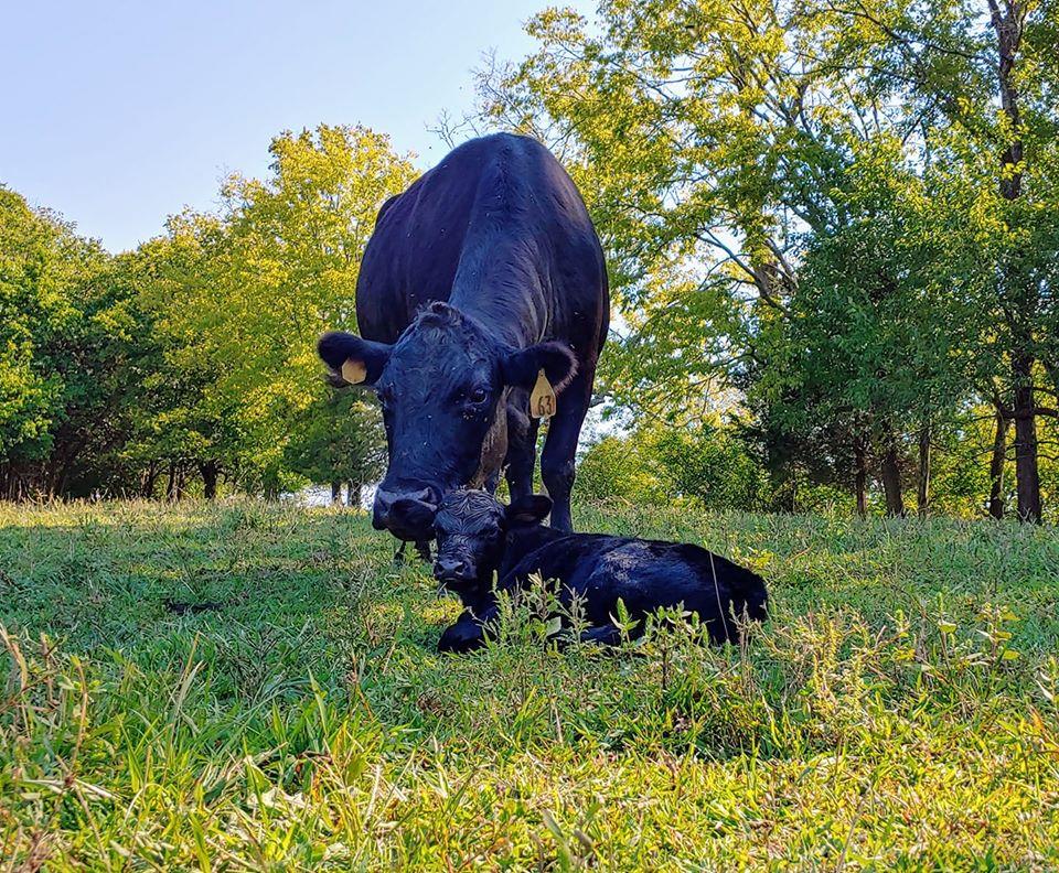 Mom & Calf