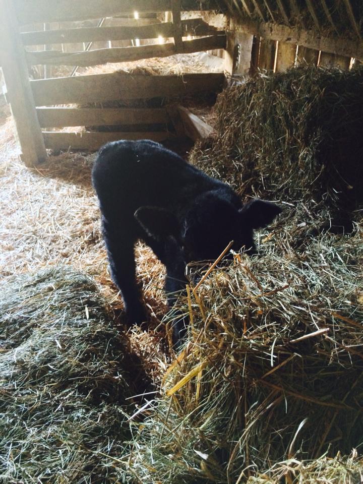 Bottle Baby in the Barn