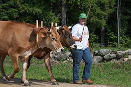 SMF oxen 2.jpg