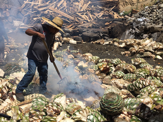 Putting the agave on the earth oven2.JPG
