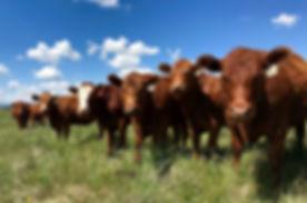 heifers.jpg