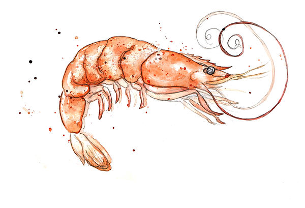 image_shrimp-drawing-52.jpg