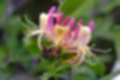 honeysuckle-3493314_960_720.jpg