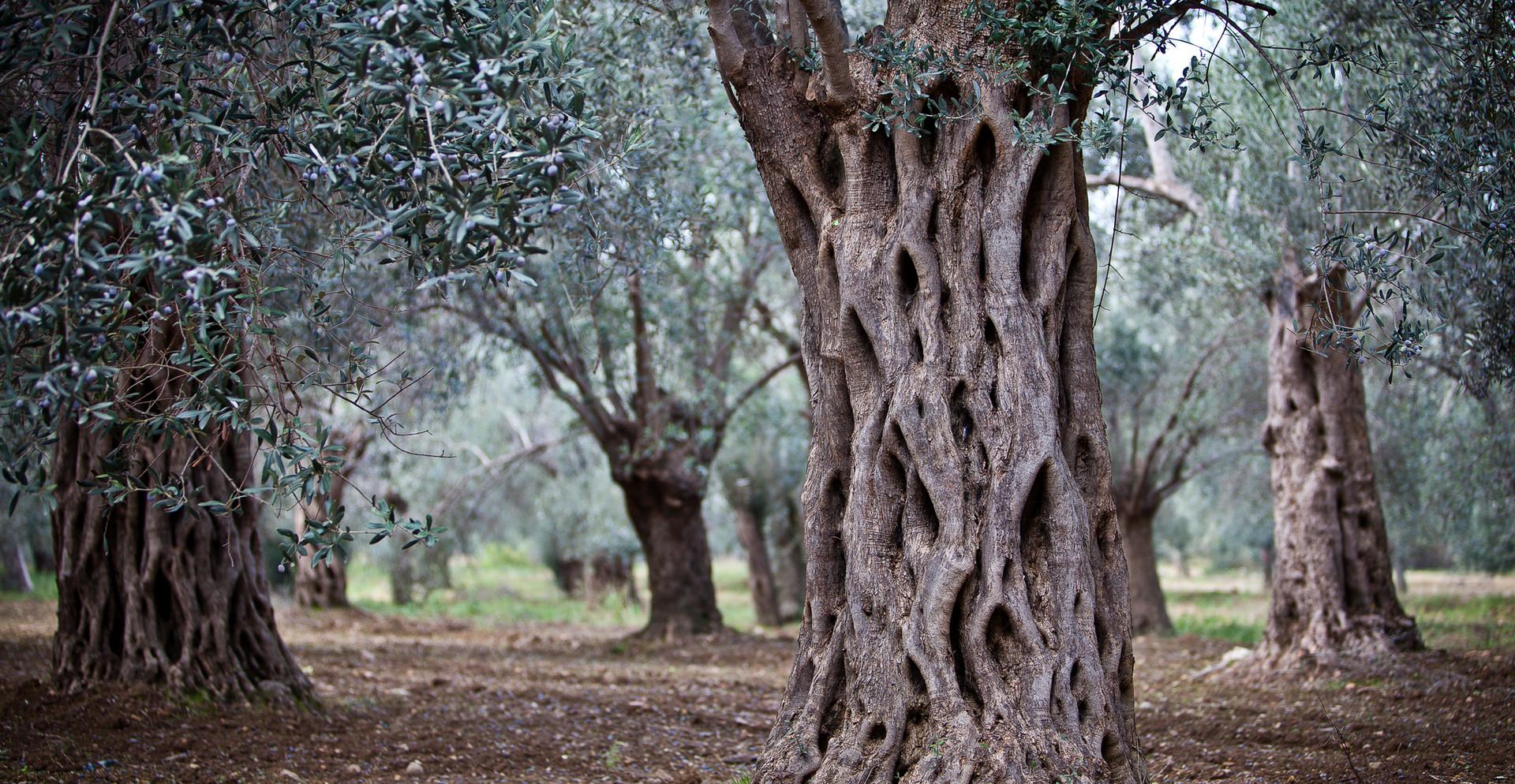 Olivetrees Bay of Edremit