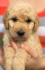 apricot curly standard goldendoodle pup