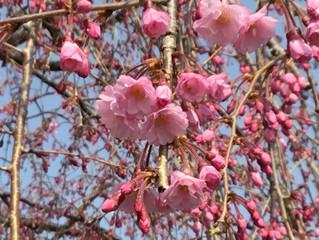しだれ桜が開花しました!!