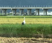 コウノトリ 福井市