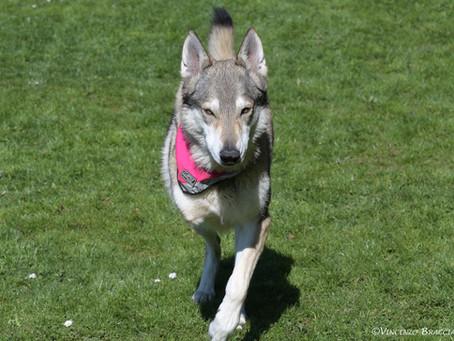 Tripod dog (hard) lesson