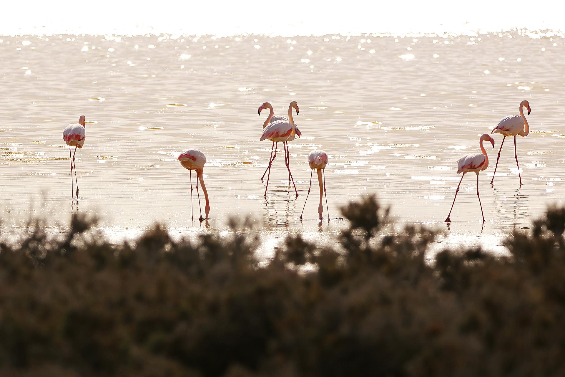 Фламинго на зимовке.