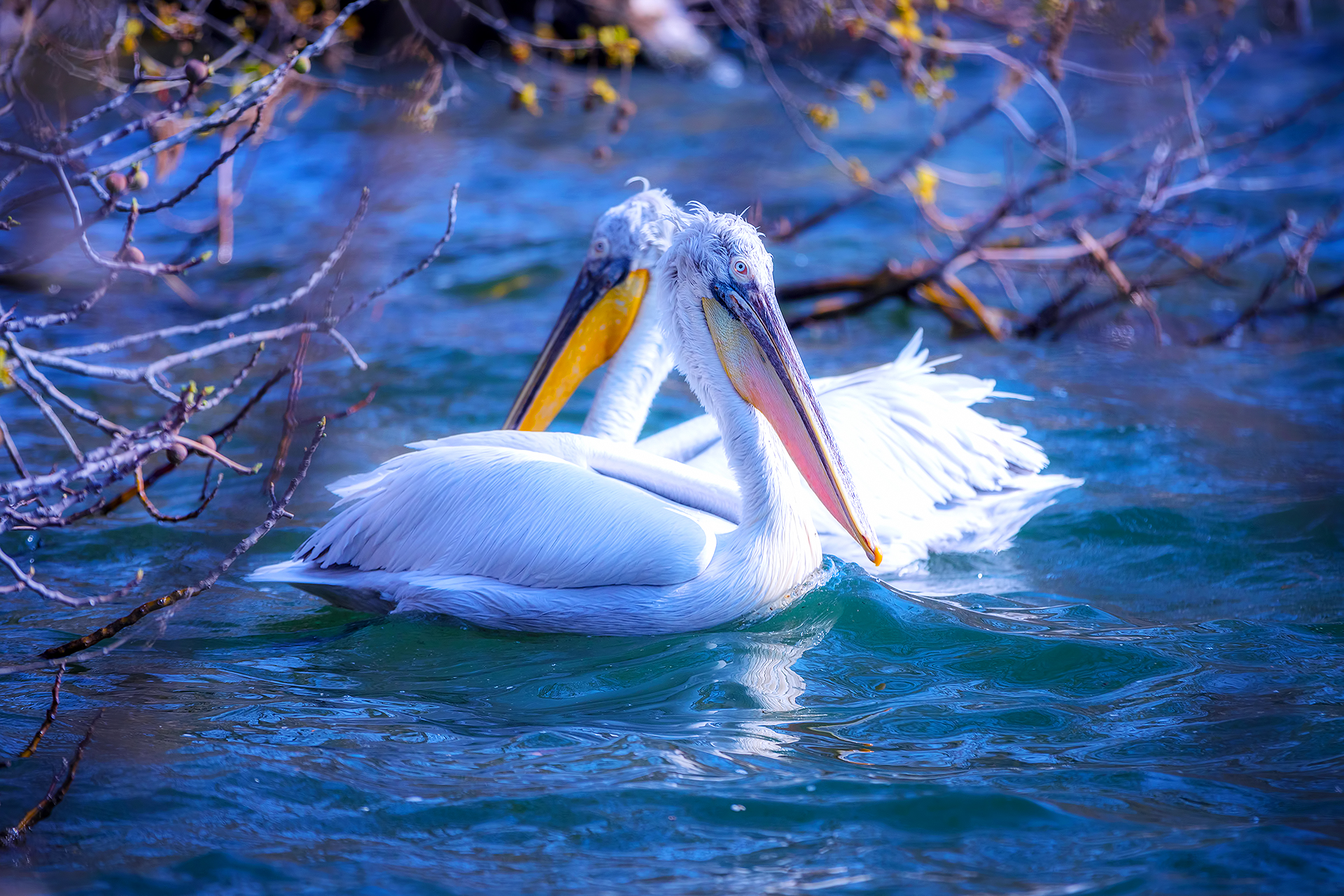 Пеликаны. Греция. Весна.