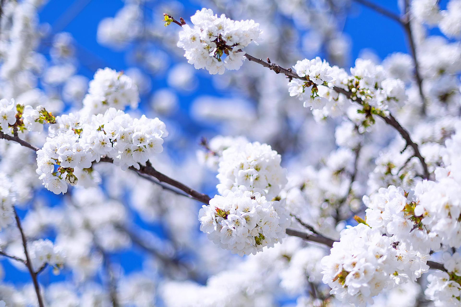 Яблоня. Весна.