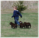 Boy with chocolate Lab puppies