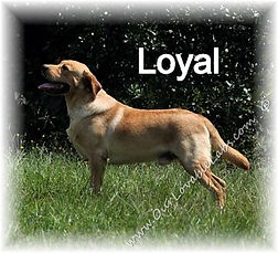 Fox Red Male Lab Named Loyal