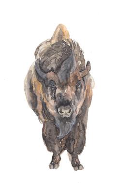 American Bison by originalizzie