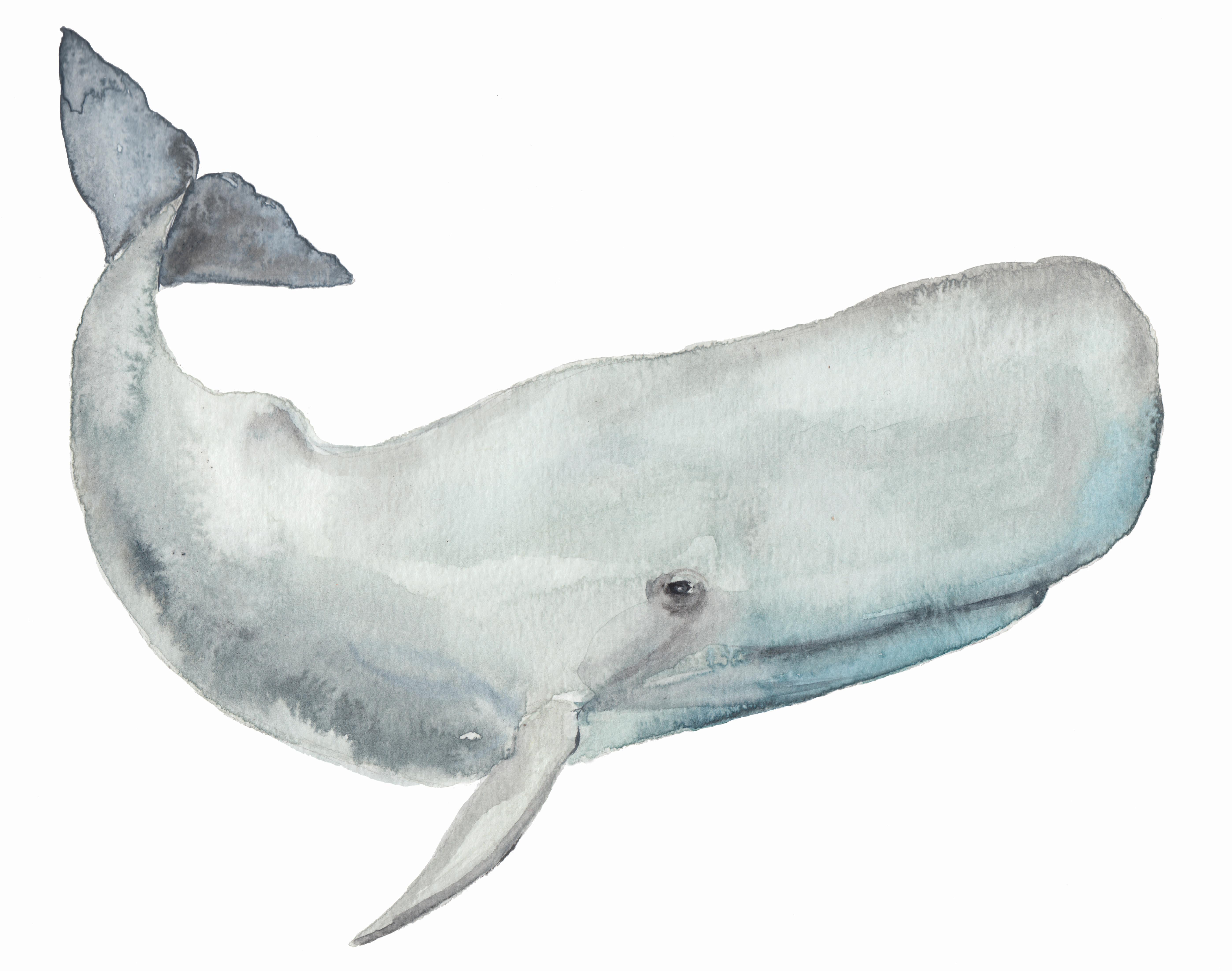 sperm whale_sm
