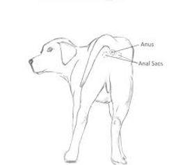 anal gland anatomy.jpg