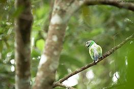 birdwatching sri lanka, birding sri lanka, birdwatching kandy, endemic birds of Sri Lanka, endemic birds Kandy, chestnut backed owlet sri lanka