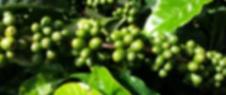 organic coffee Sri Lanka, natural coffee Sri Lanka, best coffee in Sri Lanka, oganic Sri Lanka, home grown coffee Sri Laka, organic Kandy, permacultue Kandy