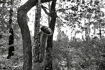 Saxaphone in a tree